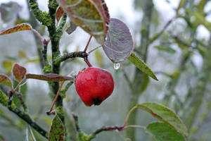 Les arbres les plus sensibles doivent être protégés des vends froids. © Laurent KB CC by-nc-sa
