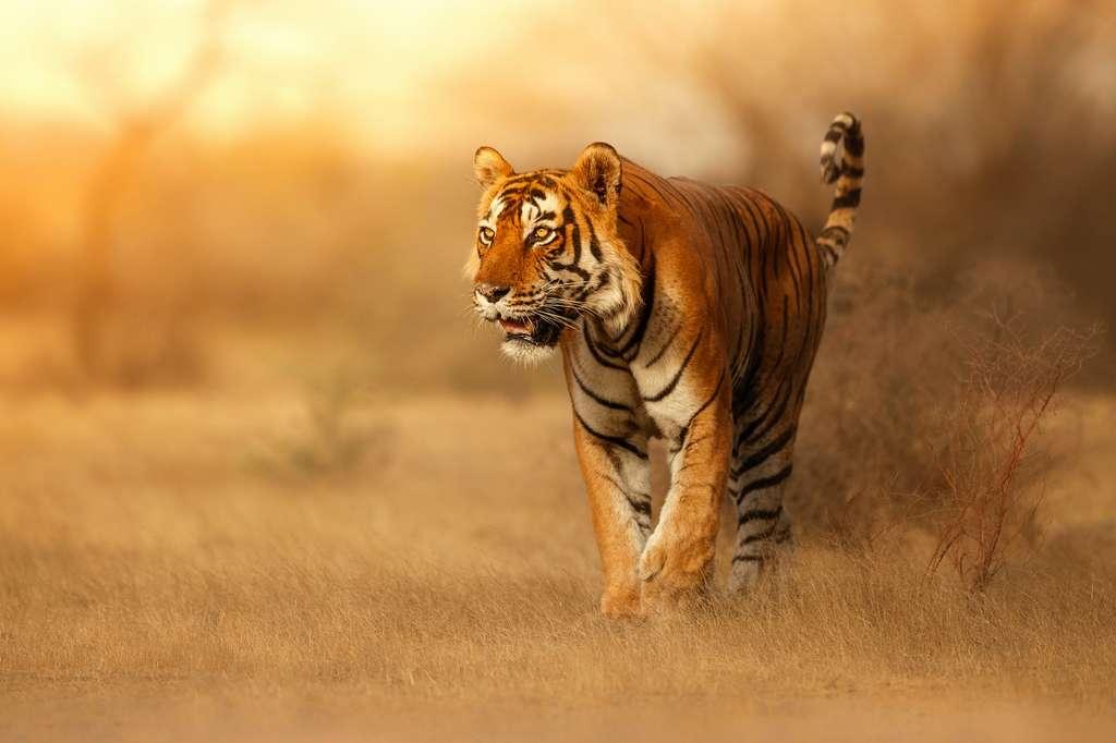 Le tigre fait également son entrée dans ce nouveau Big Five plus ouvert. « Sa perte aurait des conséquences dramatiques sur tout l'écosystème dans lequel il vit », souligne Vivek Menon, fondateur de Wildlife Trust of India. Il ne resterait aujourd'hui que moins de 4.000 tigres sauvages dans le monde. © Vladimir Cech Jr, New Big 5