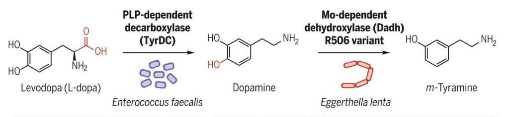 La L-dopa est digérée par la bactérie Enterococcus faecalis qui la transforme en dopamine. Une deuxième souche, Eggerthella lenta, dégrade la dopamine en meta-thyramine, un composé potentiellement responsable des effets secondaires de la L-dopa. © Université de Harvard