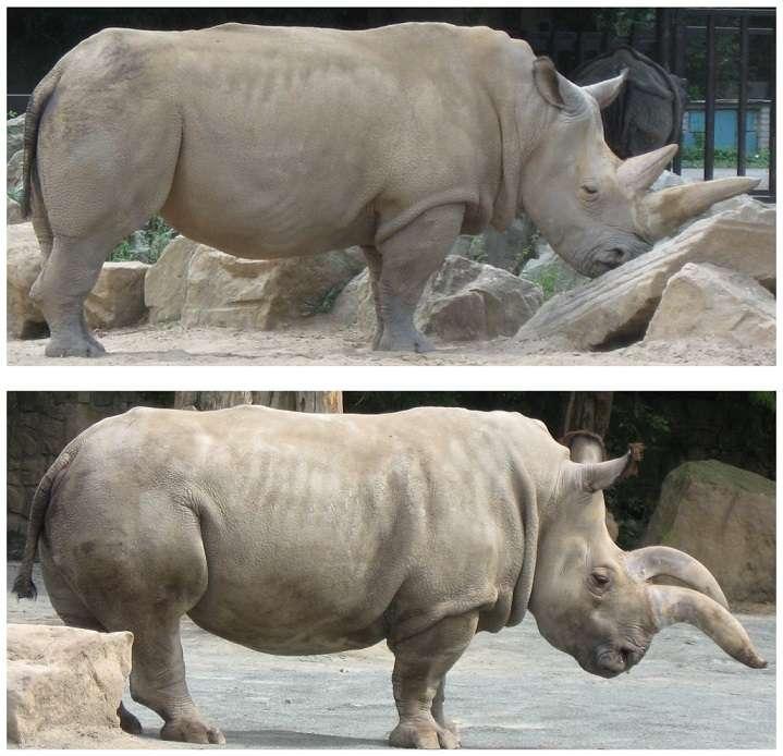 Suni et Nabire, au zoo de Dvůr Králové juste avant leur transfert vers le Kenya, ont tenu la vedette dans un article scientifique de Plos One en 2010. © 2010 Groves et al., Plos One