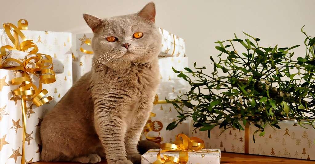 Certaines personnes présentent une allergie aux chats. © Uschi2807, DP