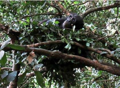 Les chimpanzés dorment dans les arbres, avec une moyenne de 11,5 heures par nuit. © Courtesy of Kathelijne Koops, University of Zurich, Switzerland