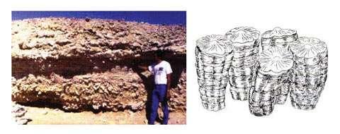 Les rudistes, groupe de bivalves ayant disparu à la fin du Crétacé formaient, en association avec de nombreux autres organismes, de gigantesques récifs dans les mers chaudes du Crétacé, comme les coraux actuels. L'ensemble formait de véritables constructions à coquilles et squelettes calcaires sur le fond de la mer et à faible profondeur. La photo de gauche montre l'exemple d'un tel récif fossile, qui affleure aujourd'hui au Sultanat d'Oman; à droite : détail de rudistes en position de vie. © Photo J. Philip, dessin d'après Stanley