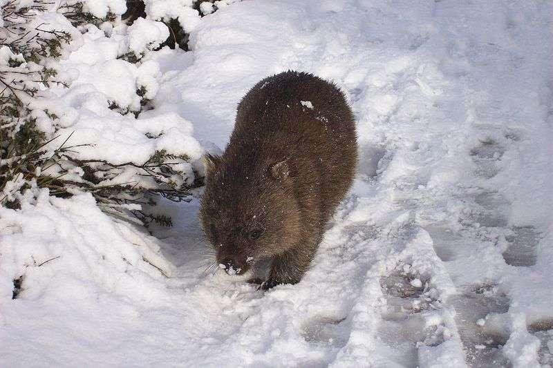Wombat commun dans la neige. © Brandy Frisky, Wikipédia, GNU 1.2