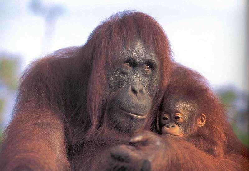 Jeune orang outan et sa mère