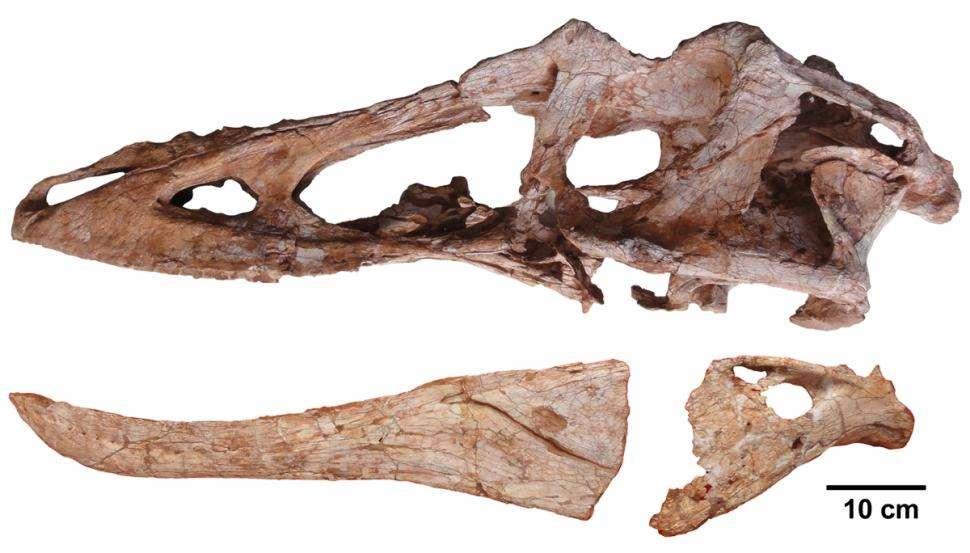 Le crâne de Qianzhousaurus sinensis révèle un museau particulièrement grand, 35 % plus long que pour des dinosaures théropodes de la même taille. © Junchang Lu