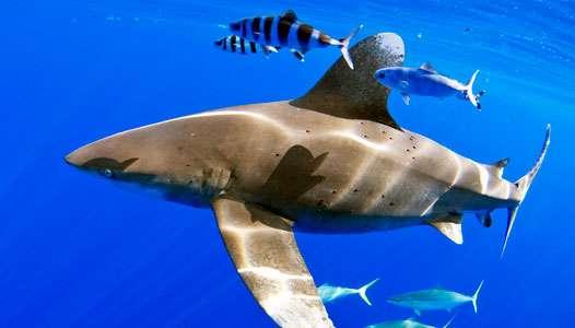 Le requin longimane nage dans les eaux des Bahamas. Il est accompagné de poissons pilotes (Naucrates ductor) et d'Elagatis bipinnulata. © Lance Jordan, Microwave Telemetry, Inc.