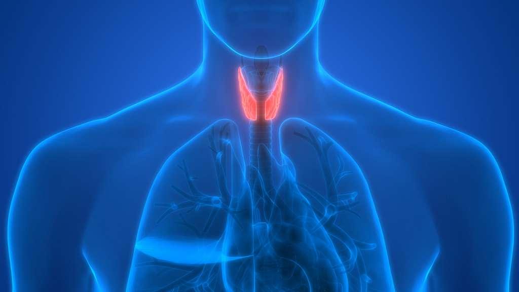 La thyroïde est un organe qui produit des hormones. Le Levothyrox vise à compenser un déficit en hormones thyroïdiennes. © magicmine, Fotolia
