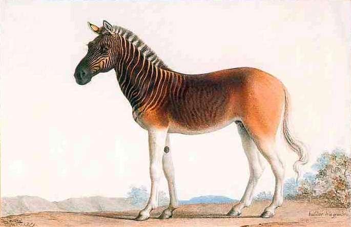 Le couagga (ou quagga), disparu en 1883. En 1.500 ans, l'Homme a causé l'extinction de 500.000 espèces. © Peinture de 1793 de Nicolas Marechal représentant un étalon quagga de la ménagerie royale de Versailles de Louis XVI. © Wikimedia Commons, DP