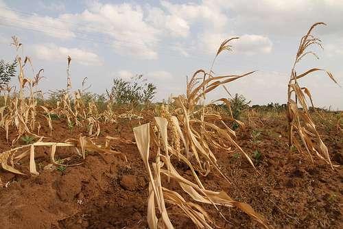 Champ de maïs luttant contre la sécheresse, en Afrique. © Giro555, Flickr, cc by sa 2.0