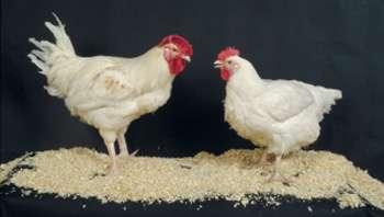 La résistance des poules aux salmonelles pourrait être améliorée par sélection génétique © INRA /C. Slagmulder