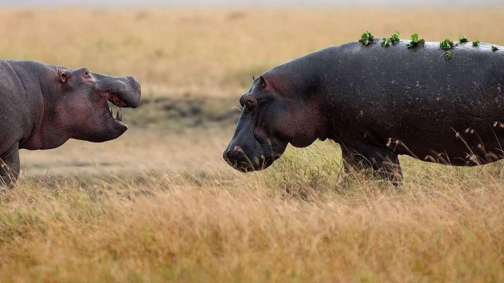 L'hippopotame, un animal dangereux pour l'Homme