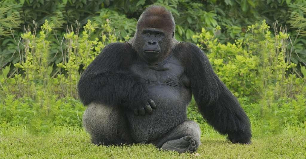 Un énigmatique gorille. © Valerie CC BY-NC 2.0
