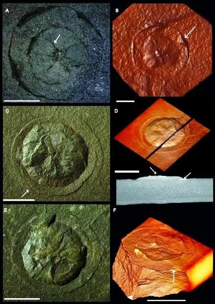 Macrofossiles très peu ou pas du tout pyritisés montrant des morphotypes avec un aspect circulaire. Les images obtenues par microtomographie à rayons X (micro-CT) sont en transparence ou en volume 3D. Elles illustrent les différences entre les spécimens. Barre d'échelle 1 cm. © CNRS, Abderrazak El Albani