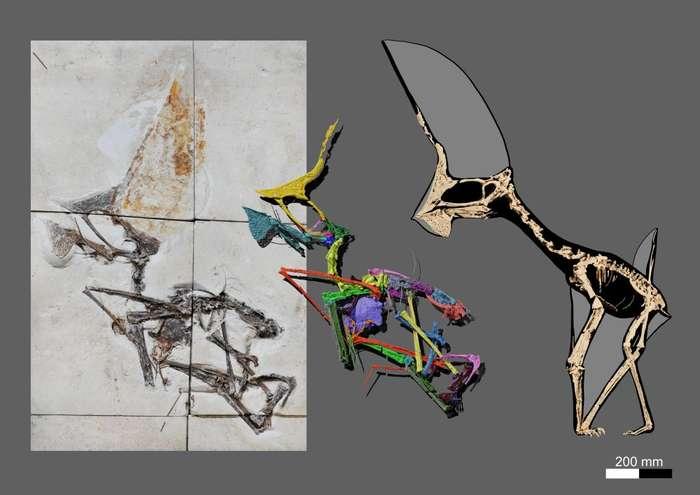 Tupandactylus navigans : fossile à gauche ; reconstitutions et analyses au milieu et à droite. © Victor Beccari