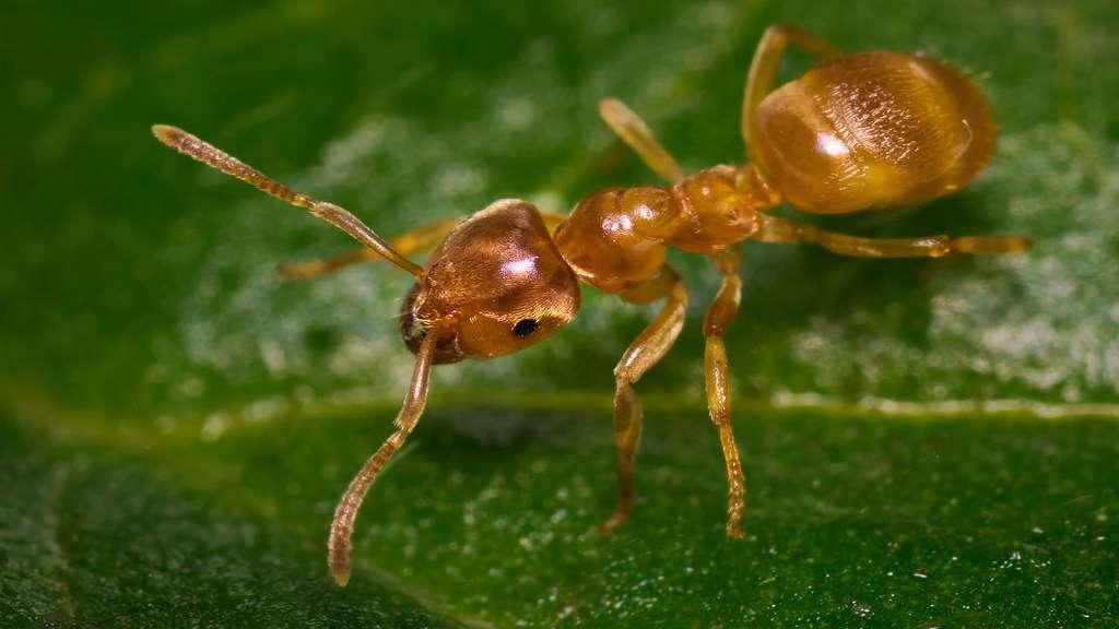 Des fourmis jaunes