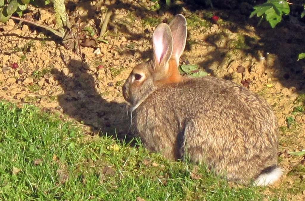 Les oreilles du lapin sont plus courtes que celles du lièvre. © Bj.schoenmakers, Wikipédia, DP