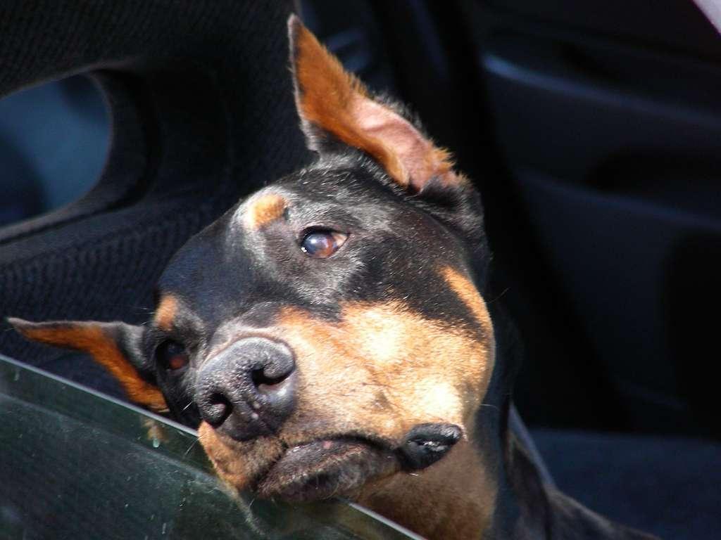 En France, un chien sur six souffrirait de mal des transports. Et ce chiffre monte à trois sur quatre lorsqu'il s'agit de chiots. © John Sfondilias, Fotolia