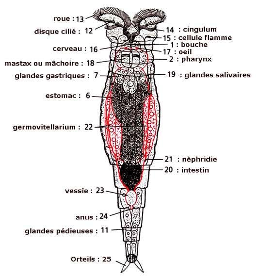 Anatomie d'un Rotifère (d'après Grassé et Hyman)