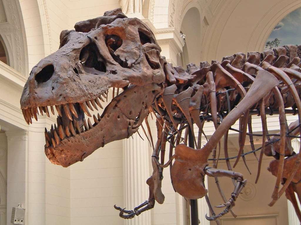 Un squelette de T-Rex visible au Field Museum of Natural History, à Chicago, aux États-Unis. Le nombre d'espèces de dinosaures carnivores a diminué moins vite que celui des sauropodes pendant le Crétacé. © Terence Faircloth, Flickr, CC by-nc-nd 2.0