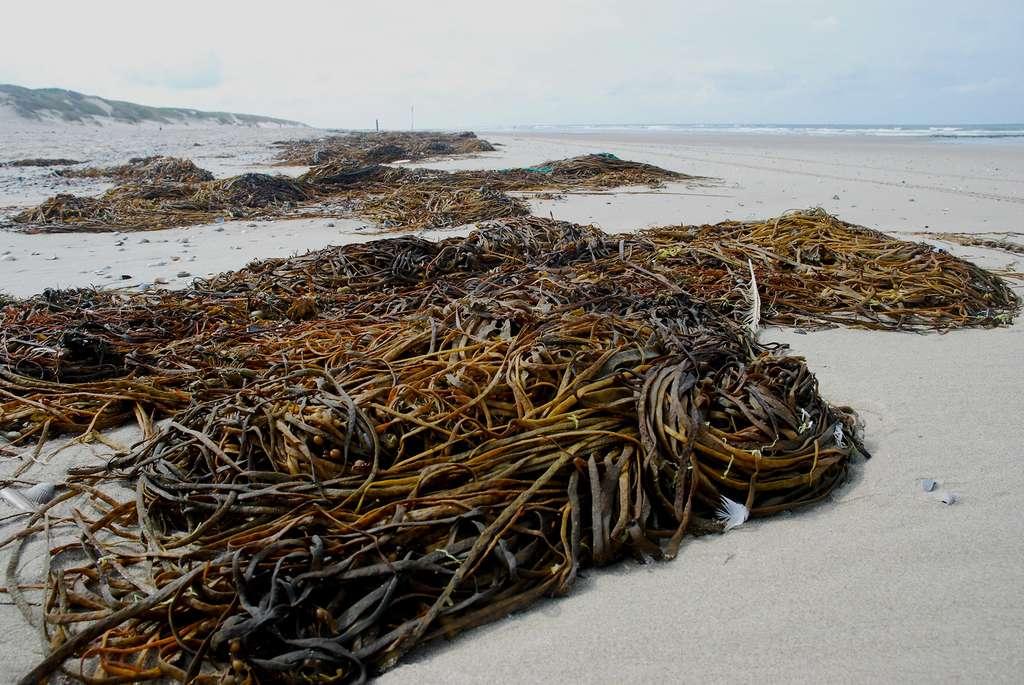 Le haricot de mer, une algue alimentaire bien de chez nous
