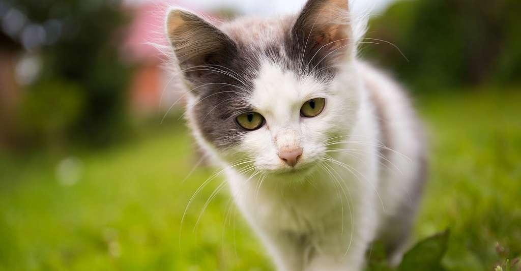 Qui est le chat ? © Tatglad, Pixbay, DP