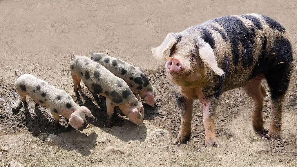 Le cochon de Bayeux