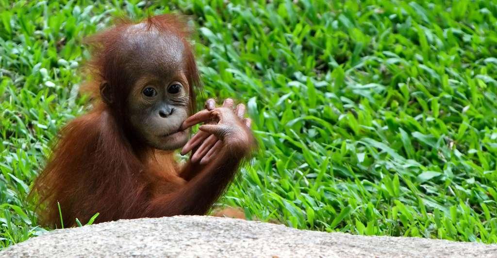 Jeune orang-outang. © S.Yume CC BY-NC 2.0