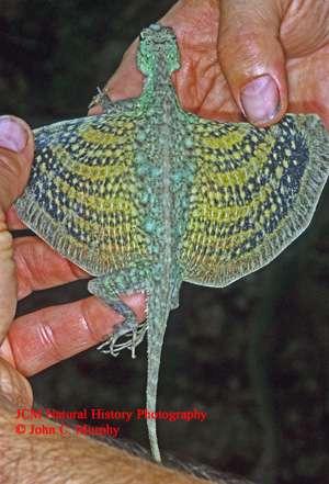 Figure 2. Un dragon volant de Thaïlande. © John C. Murphy