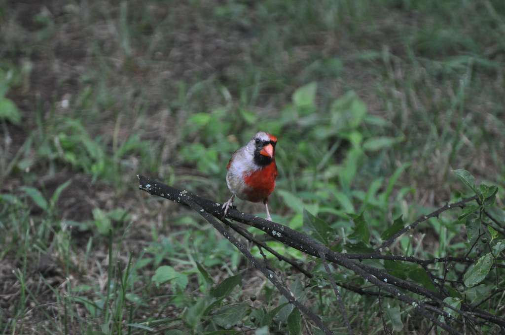 Un cardinal rouge gynandromorphe, moitié mâle moitié femelle. © Gary Storts, Flickr