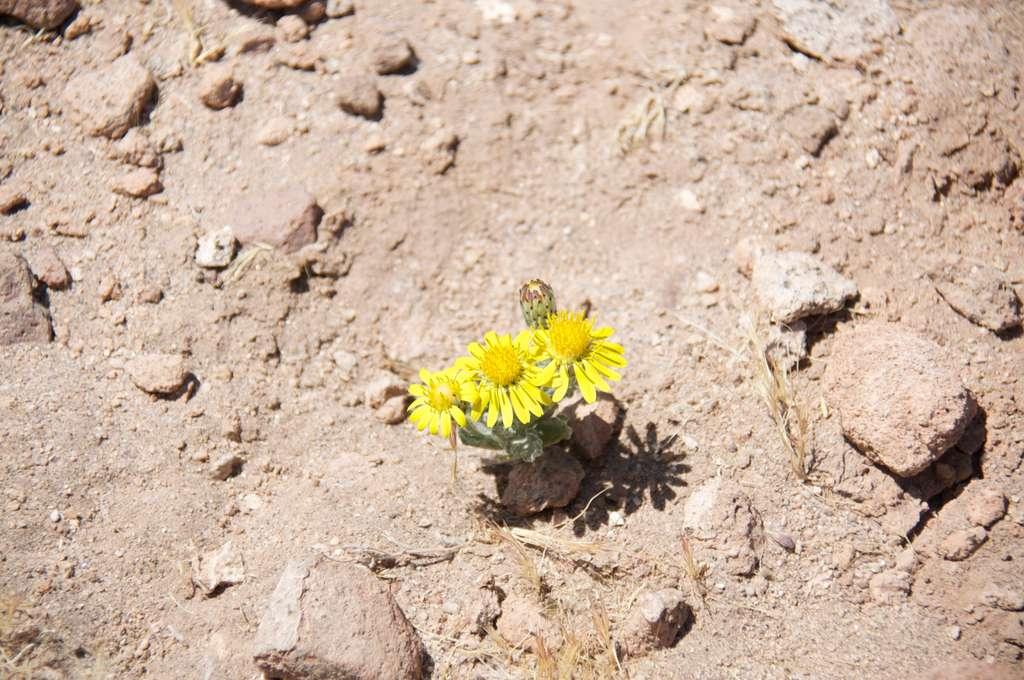 Une fleur à 3.600 mètres d'altitude