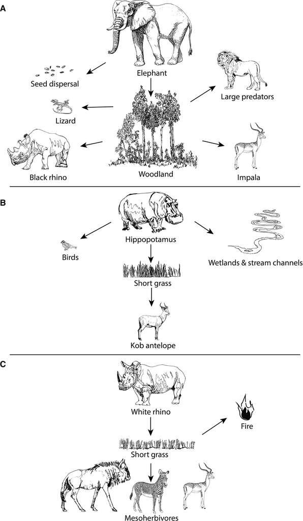 Les grands herbivores jouent un rôle important au sein de leurs écosystèmes. Les éléphants (A) limitent la croissance des arbres favorisant une végétation d'arbustes, ce qui facilite la vie des grands prédateurs (Large predators, en anglais sur le schéma) et des herbivores comme les impalas. Les lézards (Lizard) trouvent des abris dans les arbres abîmés par les éléphants, qui, de plus, dispersent les graines (Seed dispersal). Les hippopotames (B) créent des chenaux dans les marais (Wetlands & stream channel) et entretiennent un sol où poussent de nombreuses plantes qui plaisent aux antilopes kob. Ils font également bon ménage avec des oiseaux. Les rhinocéros blancs (C), en broutant, maintiennent un sol d'herbes rases (Short grass), convenant à des herbivores plus petits (Mesoherbivores) et réduisant l'impact des grands incendies (Fire). © William J. Ripple et al., Science Advances