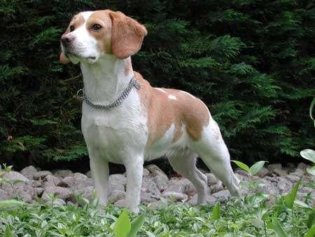 Beagle. © Claude Valroff, Wikipedia