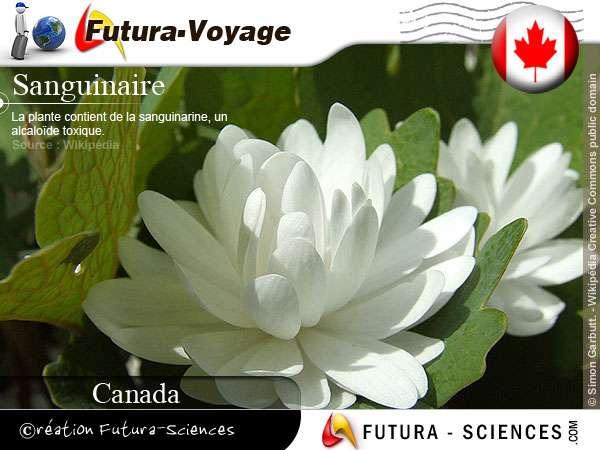 Sanguinaire du Canada - Sanguinaria canadensis