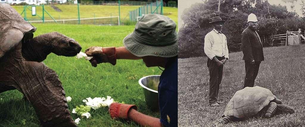 À gauche : Jonathan en 2016, âgé de 183 ans, nourri par le docteur Joe Hollins sur la pelouse de la maison du gouverneur ; à droite : Jonathan en 1900. Il était alors âgé de 67 ans. © British Veterinary Association, BNPS