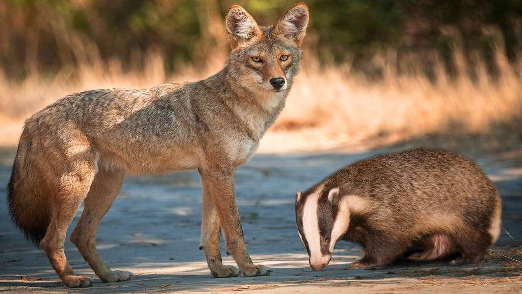 Coyotes et blaireaux peuvent devenir inséparables