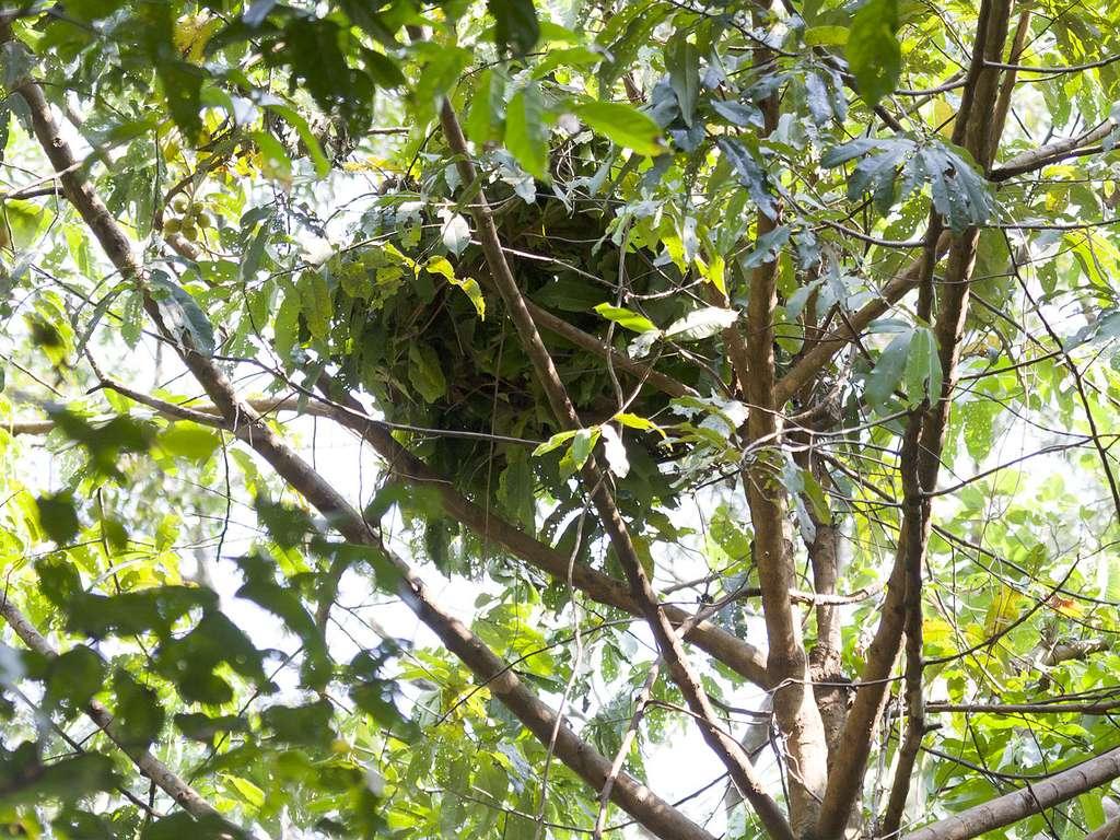 Nid de chimpanzés caché dans les branches. © Ikiwaner, GNU 1.2