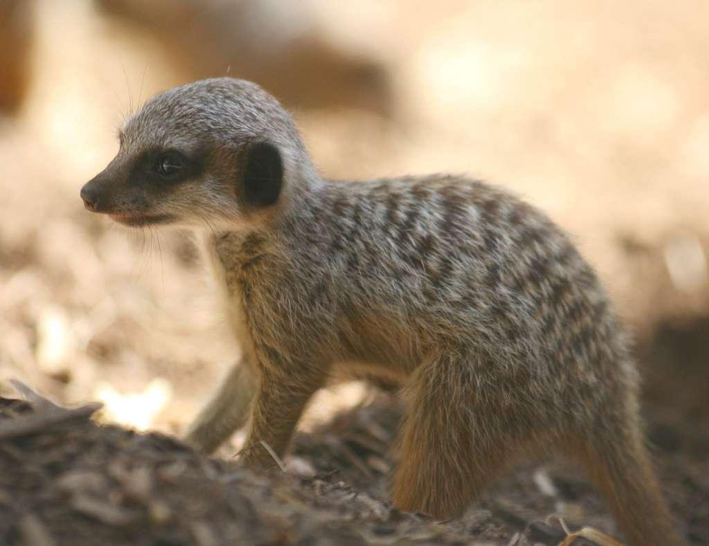 Un bébé suricate, Timon dans sa jeunesse ?