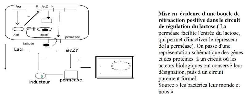Boucle de rétroaction positive dans le circuit de régulation du lactose. © DR
