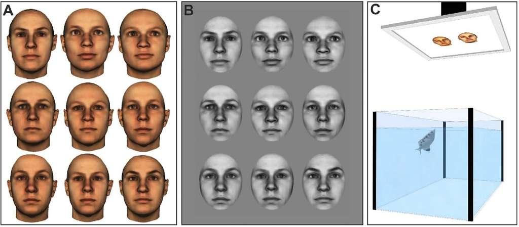Exemples de visages utilisés pour les expériences (A et B) et schéma de l'expérience (C). © Newport et al., Scientific Reports 2016