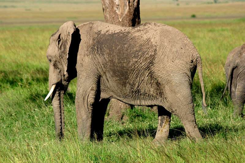 L'Ifaw estime qu'environ 100 éléphants sont tués chaque jour par des braconniers. © Bruno Scala, cc by nc nd 3.0