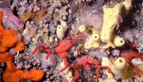 Figure 7 : petits coraux scléractiniaires et corail rouge. Marseille, 20 m. © J.-G. Harmelin, tous droits réservés, reproduction et utilisation interdites