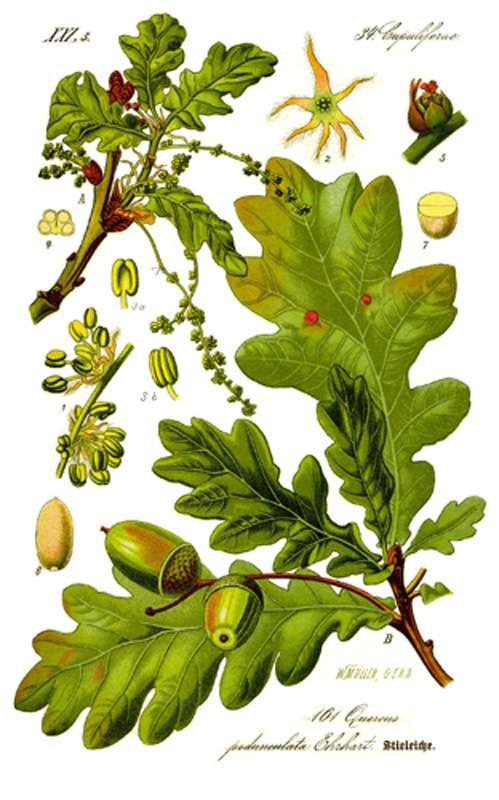 Quercus robur, le chêne pédonculé. © DR