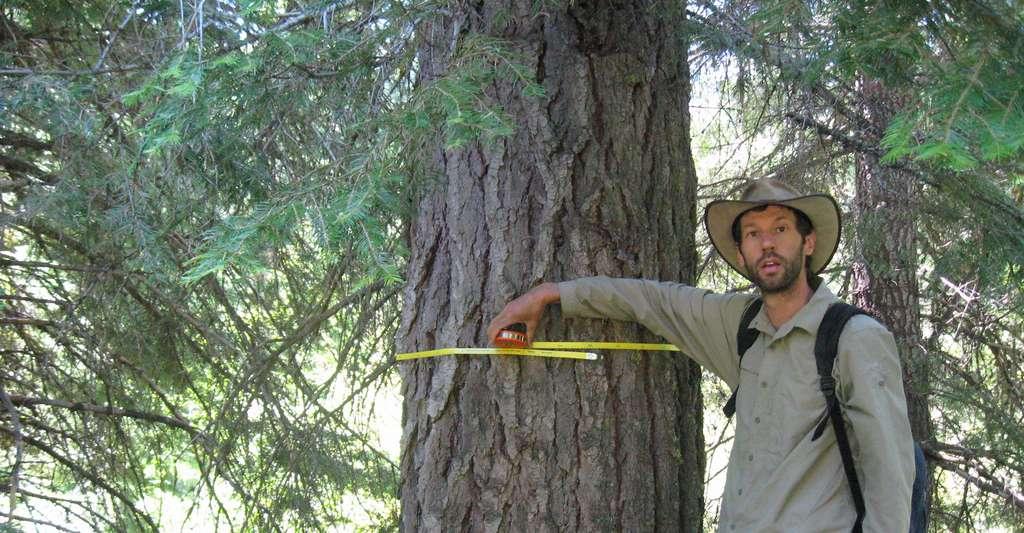 Selon les travaux des chercheurs de l'Eastern Oregon Legacy Lands, les arbres dont le diamètre dépasse les 76 centimètres ne représentent que 0,6 % des arbres du nord-ouest du Pacifique, mais ils stockent plus de 16 % du carbone. © David Mildrexler, Eastern Oregon Legacy Lands
