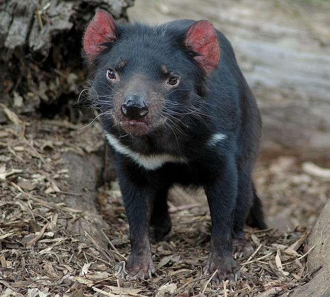 Diable de Tasmanie juvénile. © KeresH, Wikipédia, GNU 1.2