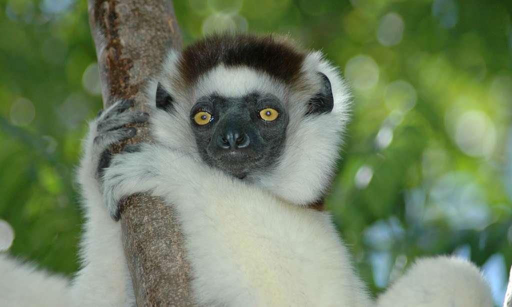 Sifaka sur une branche