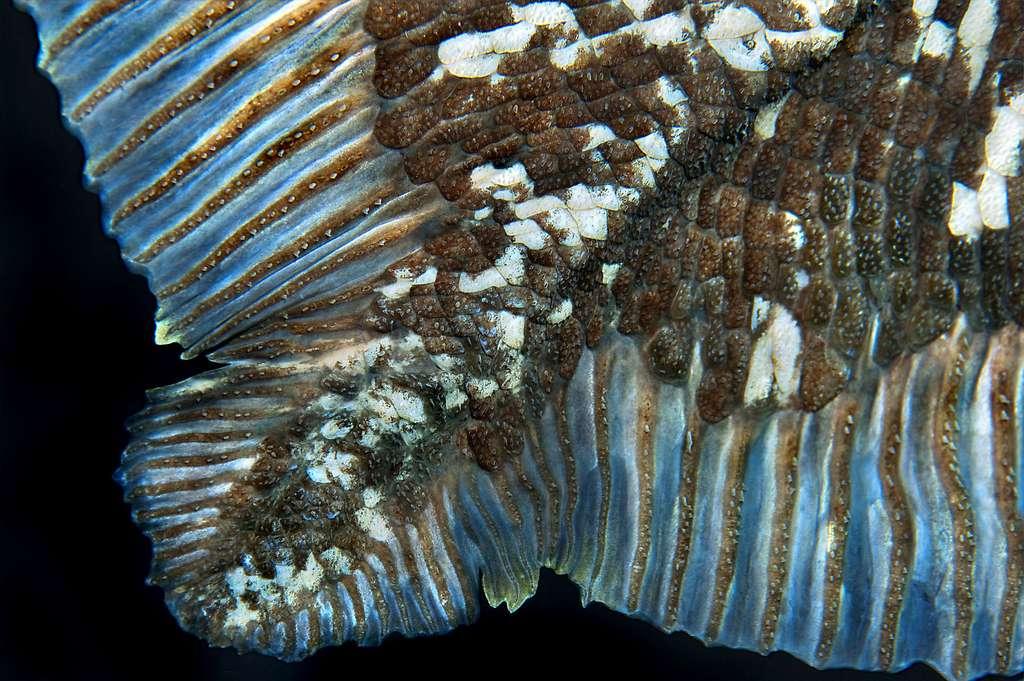 Écailles d'un cœlacanthe adulte. © Laurent Ballesta