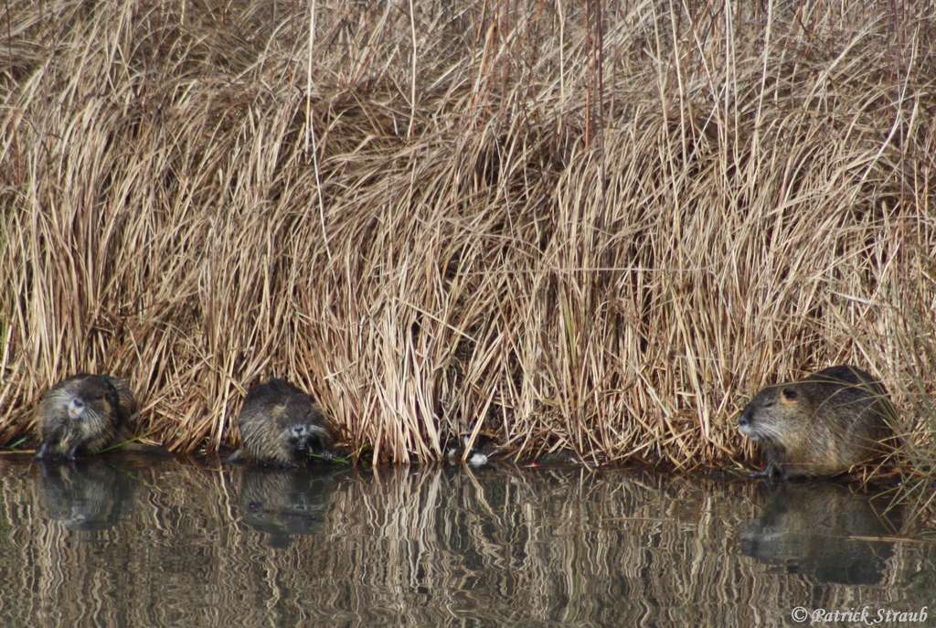 Habitat type du ragondin. © Patrick Straub