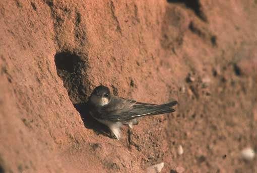 Hirondelle de rivage dans son nid © C. Guihard/LPO