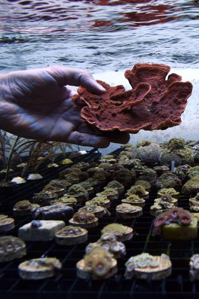 Ces coraux sont à vendre, mais c'est pour la bonne cause… © Anne-Christine Poujoulat, AFP Photo